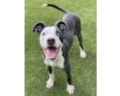 Adopt Togo a Gray/Blue/Silver/Salt & Pepper Greyhound / Terrier (Unknown Type