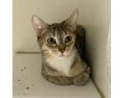 Adopt Kona a Brown Tabby Domestic Shorthair (short coat) cat in La Grange Park