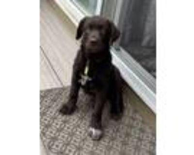 Adopt Chase a Chocolate Labrador Retriever