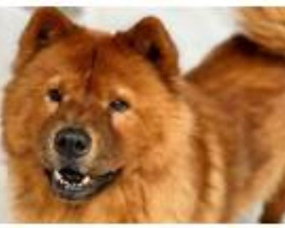 Adopt MISSY a Chow Chow