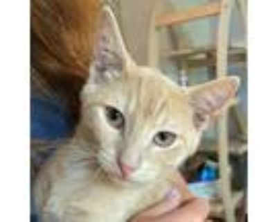 Adopt curby a Orange or Red Domestic Shorthair / Mixed (short coat) cat in