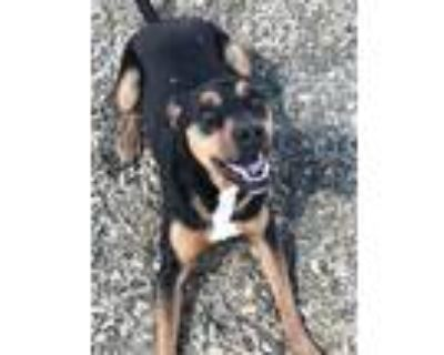 Adopt THUNDER a Rottweiler, Mixed Breed