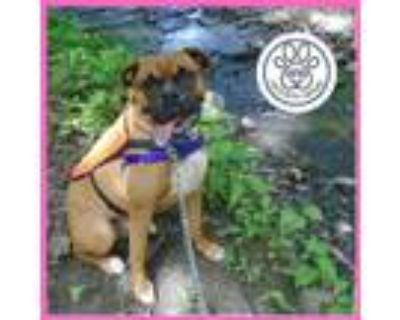 Adopt Obie a Tan/Yellow/Fawn Boxer / Mixed dog in Menands, NY (31108140)