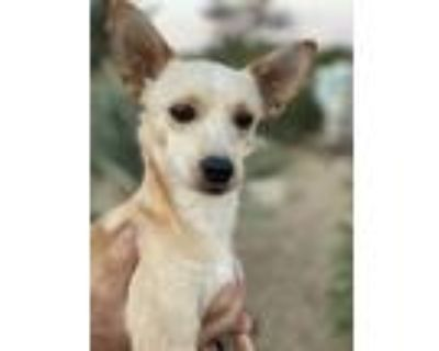 Adopt Collin a White - with Tan, Yellow or Fawn Terrier (Unknown Type