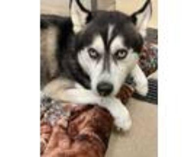 Adopt Daytona a Black Husky / Mixed dog in Newport News, VA (31957807)