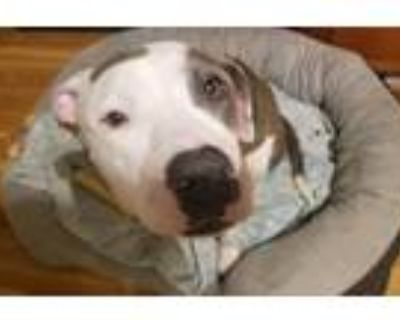 Adopt Hope a Brindle - with White American Staffordshire Terrier / Boxer / Mixed