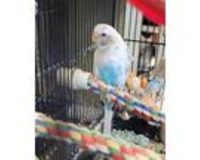 Adopt SHANA a Black Parakeet - Other / Mixed bird in Derwood, MD (31899247)