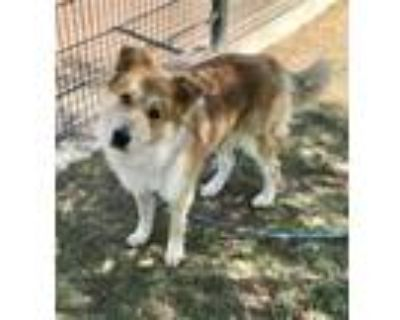 Adopt TREVOR a Collie, Mixed Breed