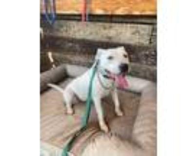 Adopt Enga a White Pit Bull Terrier / Mixed dog in Lake Balboa, CA (32128596)