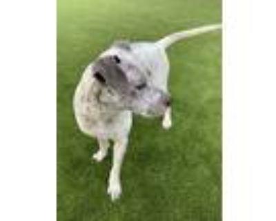 Adopt Blue a Australian Cattle Dog / Blue Heeler, Pit Bull Terrier