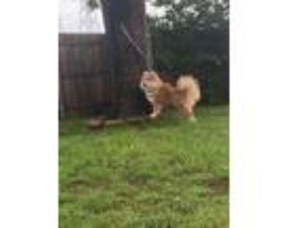 Adopt Calaya a Red/Golden/Orange/Chestnut Chow Chow / Mixed dog in Houston