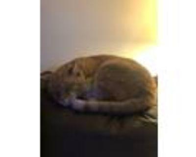 Adopt Tango a Tan or Fawn Tabby Havana Brown / Mixed (medium coat) cat in