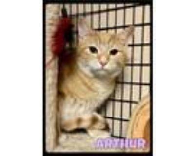 Adopt Arthur - 2107195 / 2021 a Domestic Short Hair