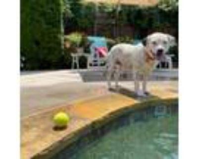 Adopt Opal a Pit Bull Terrier, Dalmatian