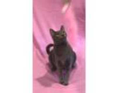 Adopt Camille a Gray or Blue Domestic Shorthair (short coat) cat in Pearland