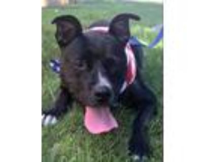 Adopt Dee Dee a Black - with White American Staffordshire Terrier / Mixed Breed