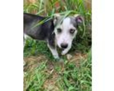 Adopt Millie a White - with Black Husky / Blue Heeler / Mixed dog in Overland