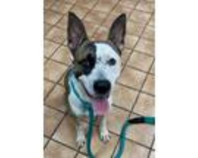 Adopt PICKLES a Tan/Yellow/Fawn - with White Husky / Husky / Mixed dog in