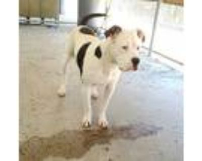 Adopt *GARRETT a White - with Black American Pit Bull Terrier / Mixed dog in