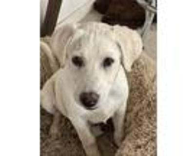 Guinevere, Labrador Retriever For Adoption In Palm Desert, California