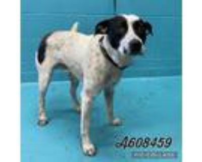 Adopt ROLAND a White - with Black Australian Cattle Dog / Mixed dog in San