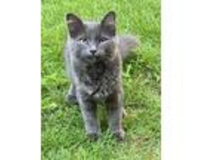 Adopt Kitty2 a Gray or Blue Domestic Shorthair / Mixed (short coat) cat in
