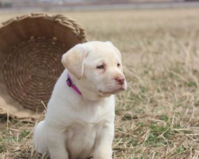 AKC registered Labrador female puppy for sale.
