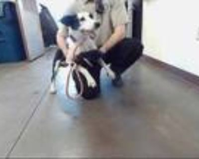 Adopt BERYL a Black - with White Border Collie / Mixed dog in Phoenix