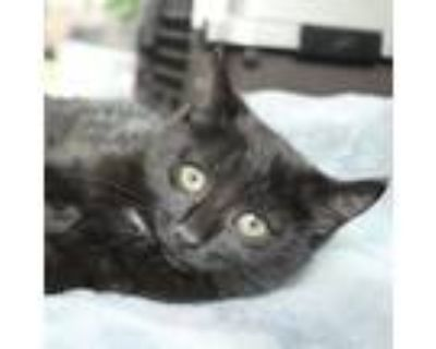 Adopt Morticia a American Shorthair