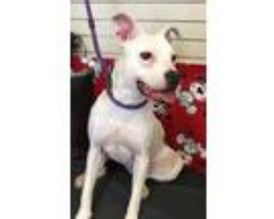 Adopt Khloe a White - with Black American Staffordshire Terrier / Mixed dog in