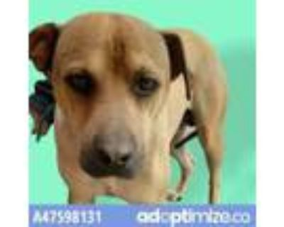 Adopt 47598131 a Brown/Chocolate American Pit Bull Terrier / Mixed dog in El
