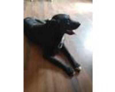 Adopt Baki a Black - with White Husky / Labrador Retriever / Mixed dog in