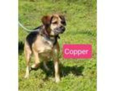 Adopt Ms Copper a Beagle, Shepherd