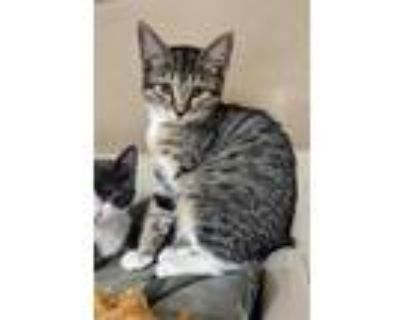 Adopt Kayak a Brown or Chocolate Domestic Shorthair / Domestic Shorthair / Mixed