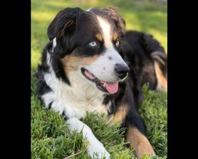 303 Aussies- Australian Shepherd Puppies