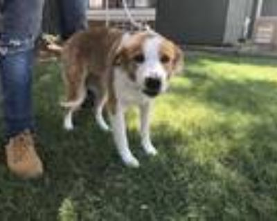 Adopt ASH a Red/Golden/Orange/Chestnut - with White Border Collie / Mixed dog in