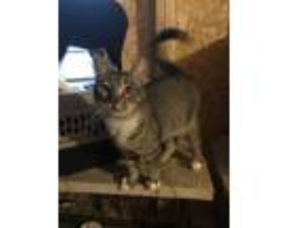 Adopt Rocket a Brown Tabby Domestic Shorthair (short coat) cat in Chiefland