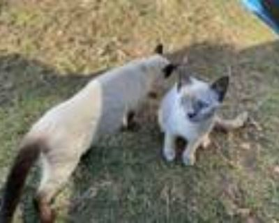 Adopt Snow Bae a White (Mostly) Siamese / Mixed (short coat) cat in Lafayette
