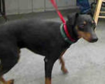 Adopt ARMANI a Black - with Brown, Red, Golden, Orange or Chestnut Miniature