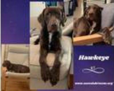 Adopt Hawkeye a Labrador Retriever, Chocolate Labrador Retriever