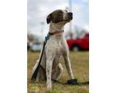 Adopt Chardonnay a Pit Bull Terrier, Terrier