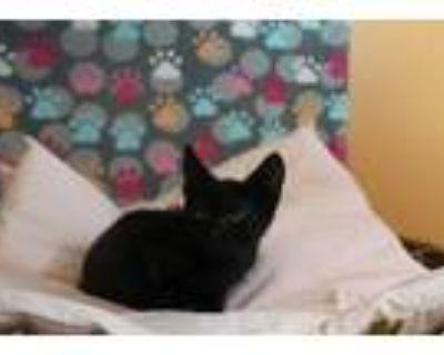 Adopt a All Black Domestic Mediumhair / Mixed (medium coat) cat in Modesto