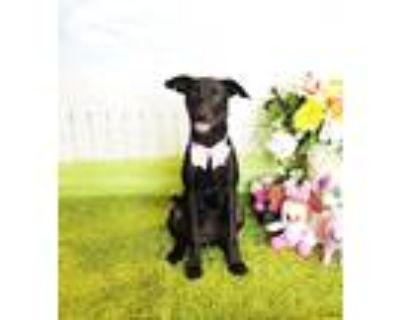 Adopt Hardetta a Black Labrador Retriever / Mixed dog in Castro Valley