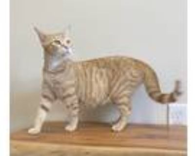 Adopt Dinah a Orange or Red Tabby Domestic Shorthair / Mixed cat in Rochester