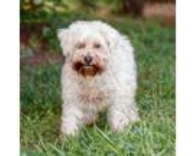 Adopt Kelly 11069 a White - with Tan, Yellow or Fawn Poodle (Standard) /