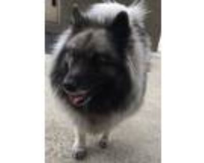 Adopt FOSTERS a Gray/Silver/Salt & Pepper - with Black Keeshond / Mixed dog in