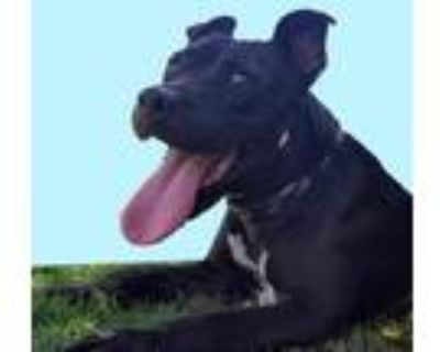 Adopt *HEART a Black - with White American Pit Bull Terrier / Mixed dog in Long