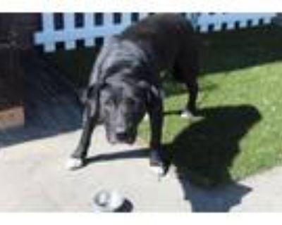 Adopt ARRAKIS a Labrador Retriever, Mixed Breed