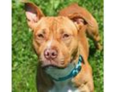 Adopt Soup a Pit Bull Terrier, Mixed Breed