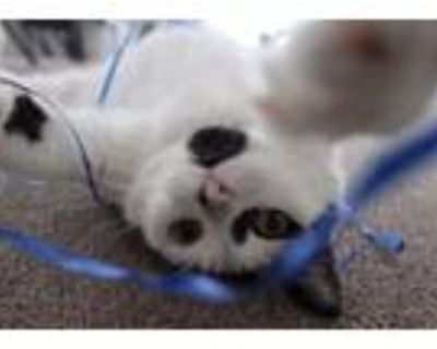 Adopt SPOTS-Sponsorship Only a American Shorthair